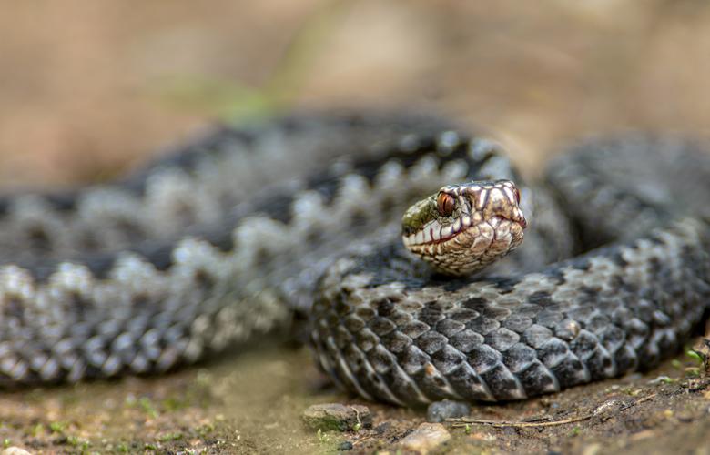 Τον δάγκωσε δηλητηριώδες φίδι κι αυτός δάγκωσε τη γυναίκα του για να πεθάνουν μαζί!