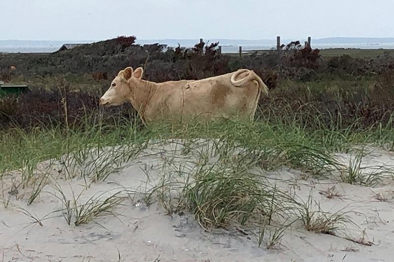 Αγελάδες… «ναυαγοί» εντοπίστηκαν μετά από δύο μήνες σε ερημονήσι