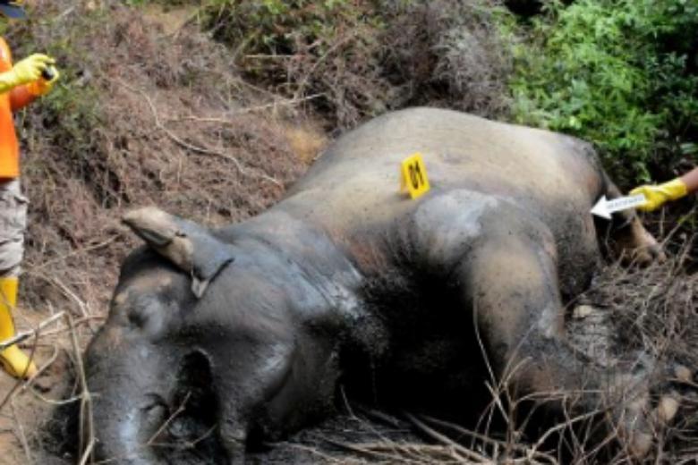 Ινδονησία: Νεκροί δυο ελέφαντες της Σουμάτρας με διαφορά λίγων ημερών