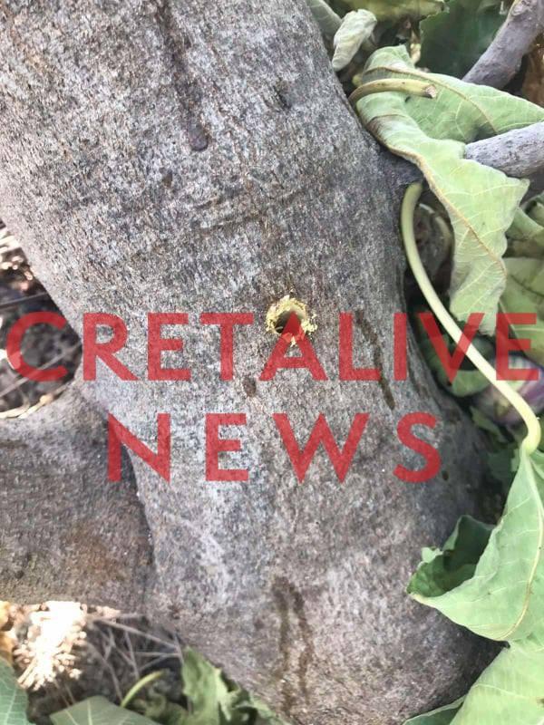 Απίστευτο περιστατικό στην Κρήτη: Άνοιξαν τρύπες στις συκιές και πέρασαν στον κορμό δηλητήριο