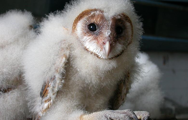 Το νυκτόβιο αρπακτικό πτηνό «Τυτώ» θα γίνει ο εξολοθρευτής των ποντικών στη Λάρισα